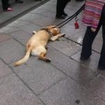 Cani si liberano a terra dopo la camminata.