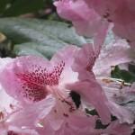 Calabrone dentro al rododendro.