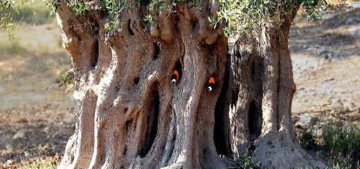 Olivo stregato